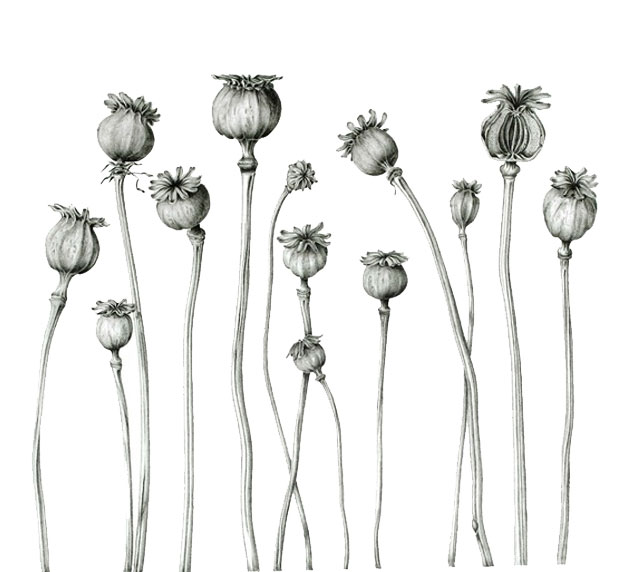 dried-poppies